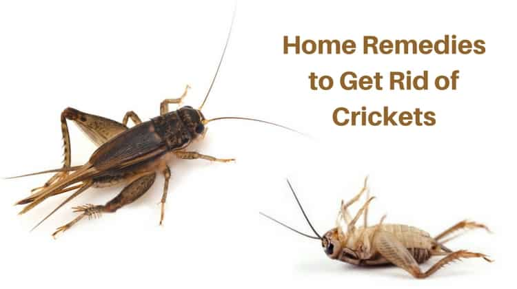 How To Get Rid Of Crickets Naturally