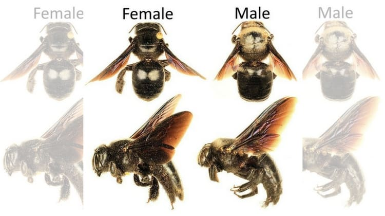 Identifying Male and Female Carpenter Bees